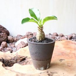 パキポディウム  ウィンゾリー   no.011   Pachypodium baronii var. windsorii