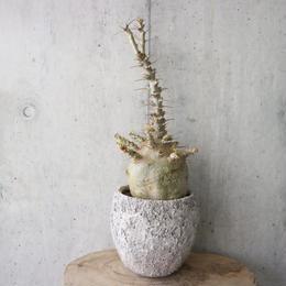 パキポディウム  サンデルシー   no.001  Pachypodium saundersii