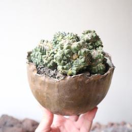 """アストロフィツム    亀甲兜モンスト    no.001   Astrophytum asterias """"kikkou"""" f. monst"""