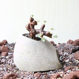 ペラルゴニム    ミラビレ no.007    Pelargonium mirabile