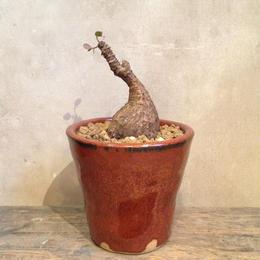 フィランサス    ミラビリス  no.3   Phyllanthus mirabilis