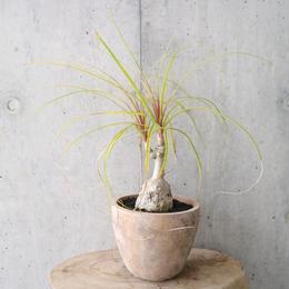 トックリラン   no.001    Beaucarnea recurvata
