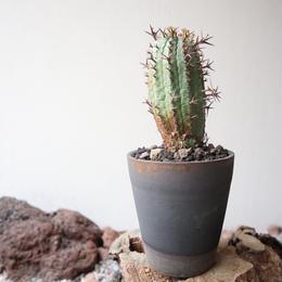 ユーフォルビア 群星冠     no.005   Euphorbia   stellispina