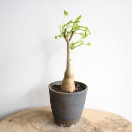 キフォステンマ    キロースム    no.001  Cyphostemma cirrhosum