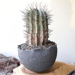 ユーフォルビア  ホリダ  no.013   Euphorbia  horrida
