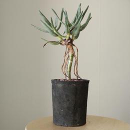 アロエ  ラモシシマ     no.001  Aloe ramosissima