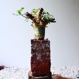 コミフォラ  カタフ     no.006    Commiphora kataf