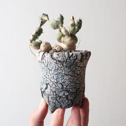ユーフォルビア グロボーサ  no.014    Euphorbia globosa