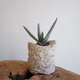 アロエ  コニフェラ  no.001  Aloe Conifera