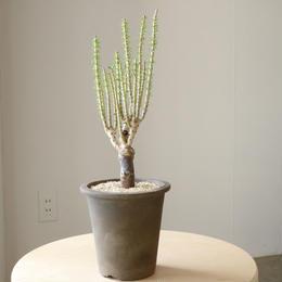 ケラリア ナマクエンシス   no.002   Ceraria namaquensis