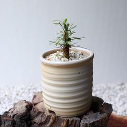フォークイエリア   プルプシー  no.034  Fouquieria purpusii
