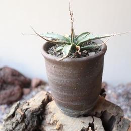 アガベ  ユタエンシス    エボリスピナ     no.008   Agave uthaensis var. eborispina