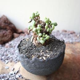 ケラリア  ピグマエア  no.018  Ceraria pygmaea