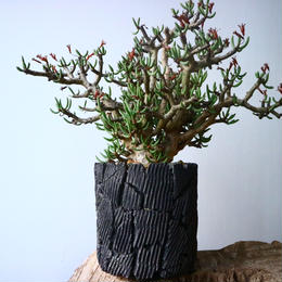 チレコドン  ブッコルジアヌス   Tylecodon  buchholzianus  No.017