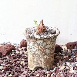 ぺラルゴニウム  シゾペタルム   no.001   Pelargonium schizopetalum
