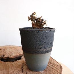 ケラリア  ピグマエア  no.001  Ceraria pygmaea