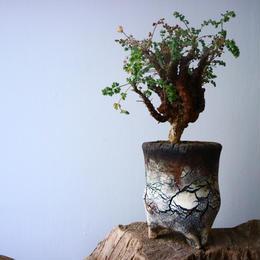 ペラルゴニム   アルテルナンス  Pelargonium alternans  No.015