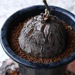 ディオスコレア   亀甲竜    Dioscorea elephantipe  no.923-13