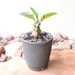 パキポディウム  ウィンゾリー   no.015   Pachypodium baronii var. windsorii