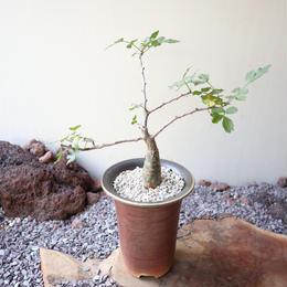 ブルセラ   ファガロイデス  no.010     Bursera fagaroides