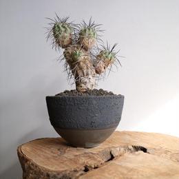 コピアポア ギガンテア   no.001    Copiapoa gigantea