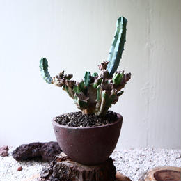 竜神木   Myrchillocactus geometorizans   no.81916
