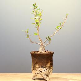 フォークイエリア   コルムナリス   no.001  Fouquieria columnaris