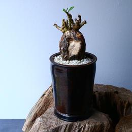 パキポディウム ビスピノーサム   Pachypodium bispinosum No.007