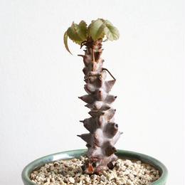 ベイセリア  メキシカーナ  no.001  Beiselia mexicana
