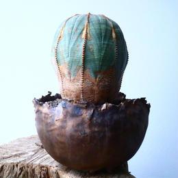 ユーフォルビア  オベサ  Euphorbia obesa  No.024