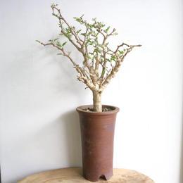センナ   メリディオナリス   no.015  Senna meridionalis