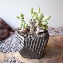 オトンナ    クラビフォリア    no.006    Othonna clavifolia