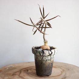 ユーフォルビア   ワリンギアエ  no.003   Euphorbia waringiae