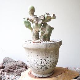 ロフォケレウス  福禄寿    no.011   Lophocereus schottii