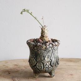 ペラルゴニウム フェルラケウム  no.001  Pelargonium ferulaceum