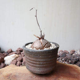 ディオスコレア   亀甲竜   no.017   Dioscorea elephantipe