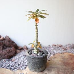 ドルステニア    ギガス    no.004   Dorstenia gigas