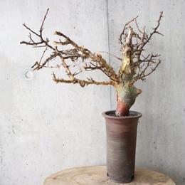 コミフォラ   アフリカーナ    no.004    Commiphora africana