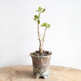 フォークイエリア   ファシクラータ   no.001  Fouquieria    fasciculata