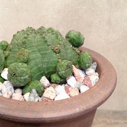ユーフォルビア  仔吹きシンメトリカ    Euphorbia obesa ssp. symmetrica