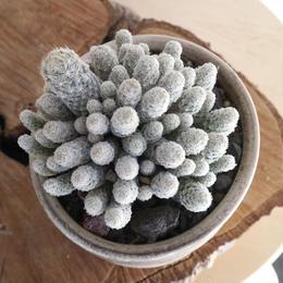エスコバリア レイ   no.001   Escobaria sneedii v. leei
