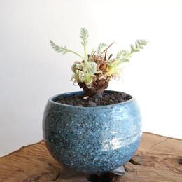 ペラルゴニウム   アッペンディクラツム  no.006  Pelargonium appendiculatum