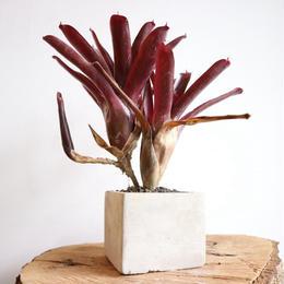 ネオレゲリア パウシフローラ × グレナダ  ×  プンクタティッシマ   Neoregelia pauciflora × Grenada × punctatissima