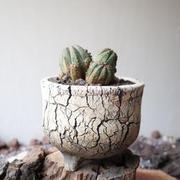 ユーフォルビア  仔吹きオベサ   no.057   Euphorbia obesa