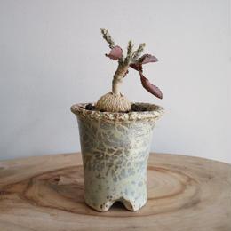 ユーフォルビア   スザンナエ   マルニエラエ no.002    Euphorbia suzannae-marnierae