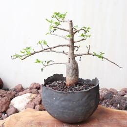 ブルセラ   ファガロイデス  no.008     Bursera fagaroides