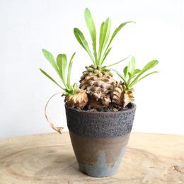 ユーフォルビア   笹蟹鉄甲     no.001   Euphorbia