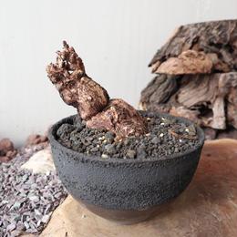 ペラルゴニウム  トリステ  no.008    Pelargonium triste