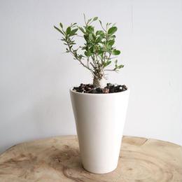 フォークイエリア   コルムナリス   no.006   Fouquieria columnaris