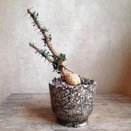 ユーフォルビア   ベハレンシス   Euphorbia beharensis